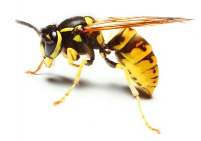 wasp removal auckland